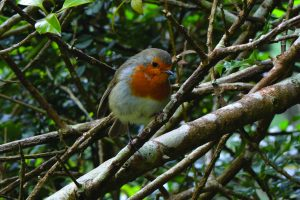 Birds+of+Glendurgan+trail+robin+image