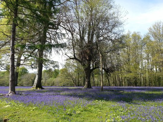 The Top Five Places to see Bluebells this spring